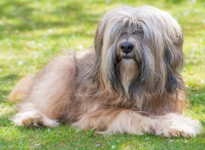Male Tibetan Terrier Dog